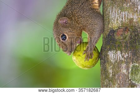Squirrels Holding And Eating A Fruit On The Branch