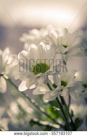 White Chrysanthemum With A Is Green Core, And Beautiful Petals. Close-up. Hardy Chrysanthemums, Chry