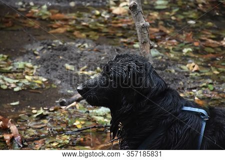 Dripping Wet Profile Of A Black Flat-coated Retriever Pup.