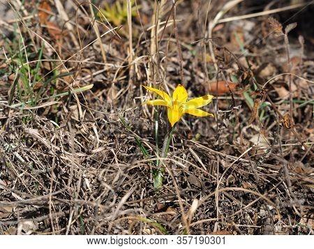 Crocus Angustifolius Plant From The Iris Family (iridaceae)