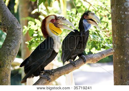 Bar-pouched Wreathed Hornbills couple (Rhyticeros undulatus) in nature surrounding Bali Indonesia poster