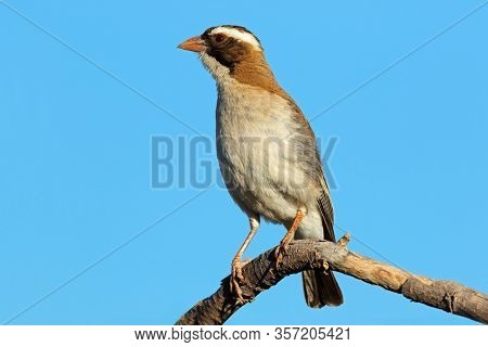 White-browed sparrow-weaver (Plocepasser mahali) perched on a branch, South Africa