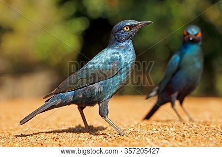 Alert greater blue-eared starlings (Lamprotornis chalybaeus), Kruger National Park, South Africa
