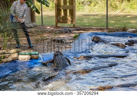 Mobile, Alabama, United States - October, 2019: Woman With Alligators In The Alligator Farm In Mobil