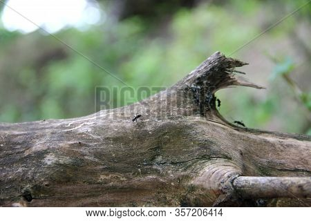 Black Ant On A Log. Old Wood Snag And Black Ants, Selective Focus. Dried Wood And Ants, Close-up.