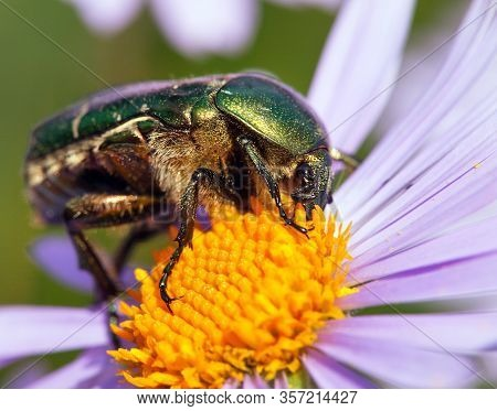 Green Rose Chafer In Latin Cetonia Aurata - Insect Sitting And Pollinated  Yellow Violet Or Blue Flo