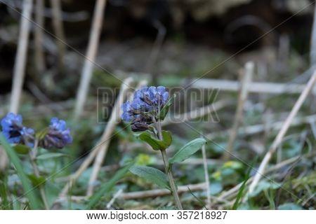 Wood Violet Viola Odorata Or Sweet Violet, English Violet, Common Or Garden Violet Native To Europe,