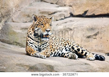 beautiful body of young leopard