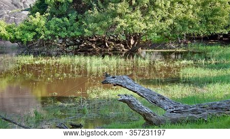 Snags Are Similar To The Reptiles On The Shore Of The Lake. National Park Sri Lanka