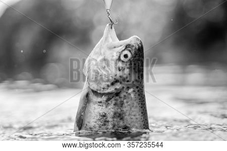 Fish In Trap Close Up. Fish Open Mouth Hang On Hook. Bait Spoon Fishing Accessory. Victim Of Poachin