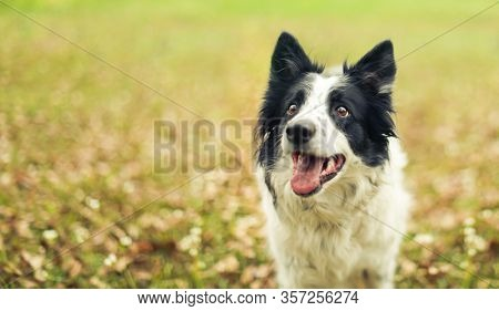 Black and white border collie dog outside panting after a long play