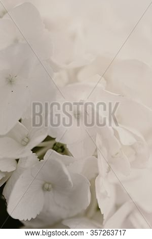Pure White Petals Of Hydrangea Flower. Beautiful Bouquet. Mock Up Flower Image. White Background. To