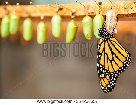 Newborn Butterfly And The Green Cocoons On The Blurred Background