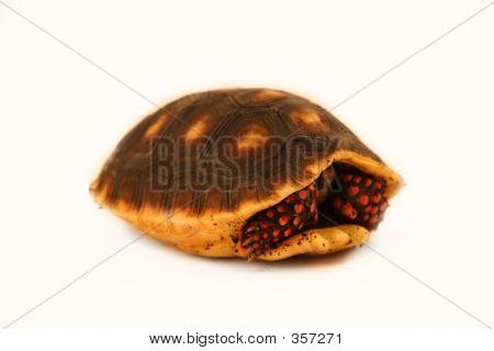 Hiding Turtle