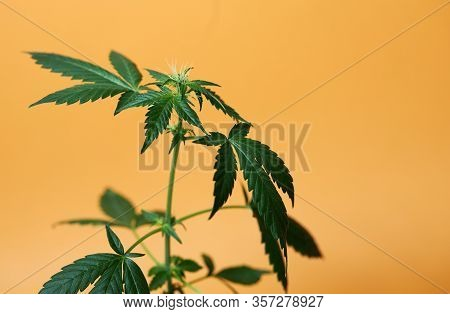 Cbd Hemp Oil, Drip, Bio-medicine And Ecology, Hemp Plant, Herb, Medicine, Cannabis Oil From Medical