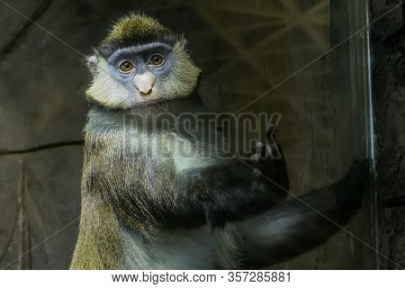 Sad Green Monkey Looking At Camera. Exotic Animal, Captivity, Primate, Animal Rights Concept