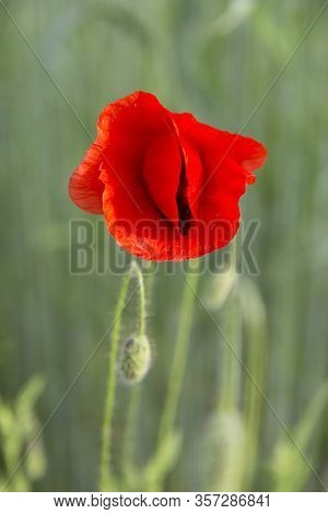 Single Red Poppy Flower ( Papaver ) Close-up On A Blurred Natural Green Background In The Sunlight.