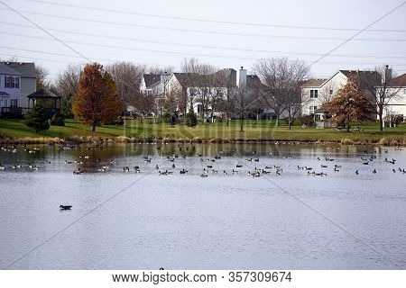 Flocks Of Migrating Canada Geese (branta Canadensis) Swim And Rest On The Shore Of A Small Lake In T