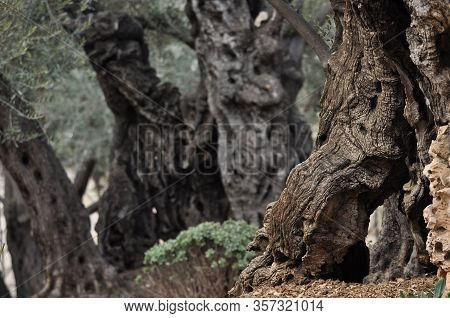 Olive Garden. Gethsemane, A Place Of Jesus' Prayer And Vigil. Holy Garden On The Olive Hill, A Place