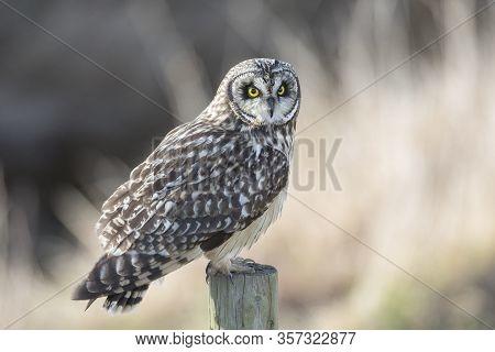 Short Eared Owl At Delta Bc Canada