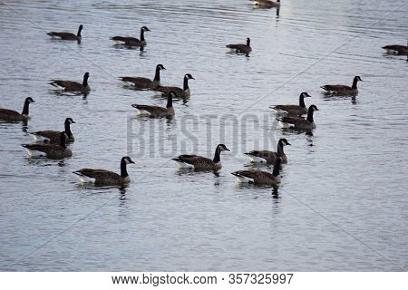 Migrating Canada Geese (branta Canadensis) Swim In A Small Lake In Joliet, Illinois, During December