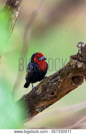 Beautiful Red Bird, Black-billed Barbet Lybius Guifsobalito On Tree. Ethiopia Wildlife