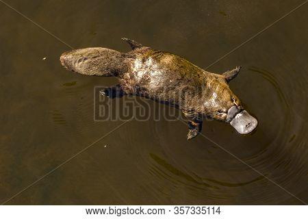 Burnie, Tasmania, Australia: March 2019: Platypus (ornithorhynchus Anatinus) Sviming In The River.