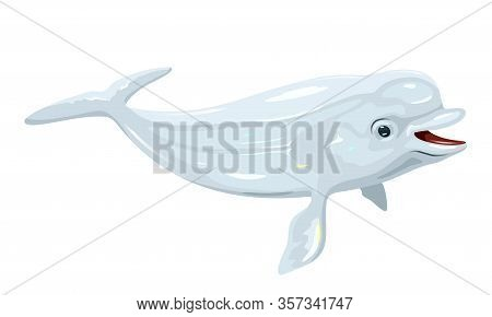 Gregarious Beluga Or White Whale Is Arctic And Sub-arctic Cetacean. It S Known As Sea Canary, Due To