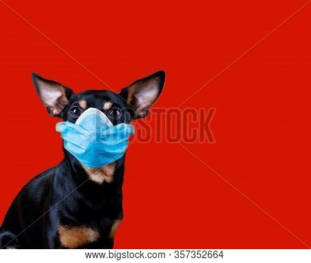 Stop Coronavirus Dog Wearing A Medical Face Mask Against Coronavirus Covid-19 Isolated On Lush Lava