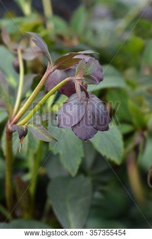Lenten Rose Lucy - Latin Name - Helleborus Orientalis Lucy