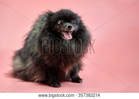 Pomeranian Spitz Black Puppy. Cute Fluffy Spitz Dog On Pink Background. Family-friendly Tiny Dwarf-s