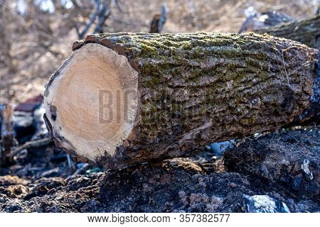 Felled Tree On Nature Background.felled Tree On Nature Background