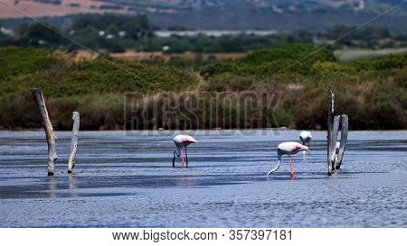Pink Flamingos With Head Under Water, Sardinia, Italy