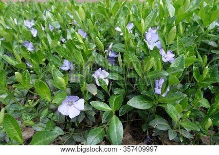 Closeup Of Violet Flowers Of Vinca Minor In April