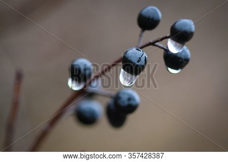 Close-up Of Wild Privet  (ligustrum Vulgare) Shrub Berries With No Leaves And Droplets Of Rain On It