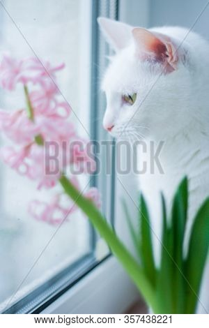 The White Cat Looks Carefully Out The Window. Pets And Comfort At Home