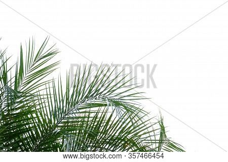 Tropical Palm Leaves With Branches On White Isolated Background For Green Foliage Backdrop