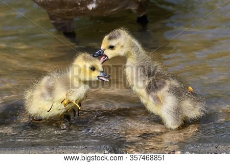 Pair Of Newborn Goslings Getting Scrappy With Each Other