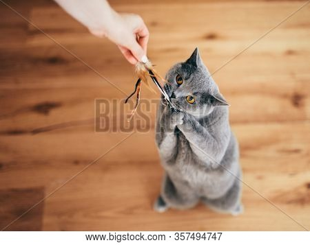 Cute British cat playing with rod toy held by a woman hand. Cat's instinct in action. British shorthair breed