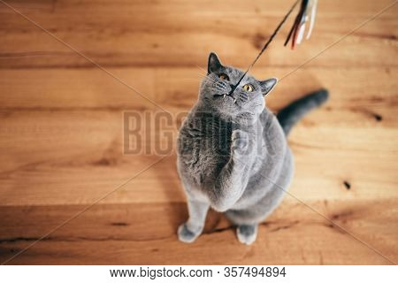 Cute British cat playing with rod toy holding it with teeth. British shorthair breed