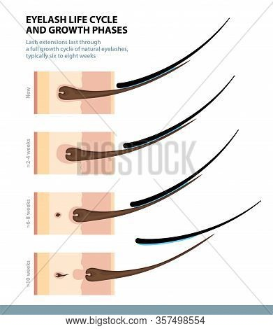Eyelash Life Cycle And Growth Phases. How Long Do Eyelash Extensions Stay On. Macro Side View. Guide