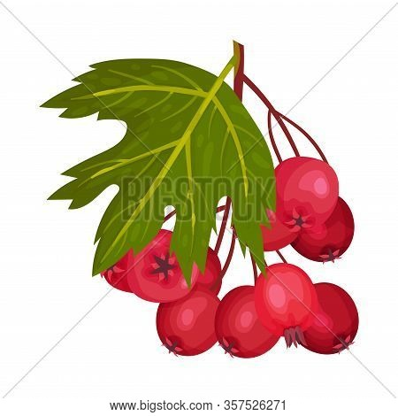 Cluster Of Red Round Hawthorn Berries Hanging On Tree Branch Vector Illustration