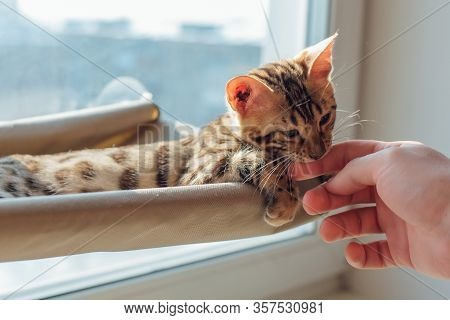 Cute Little Bengal Kitty Cat Laying On The Cats Window Bed Byting Mans Hand.