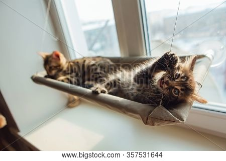 Two Cute Bengal Kittens Gold And Chorocoal Color Laying On The Cats Window Bed Byting A Strap.