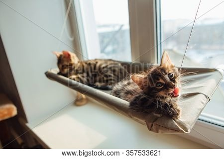 Cute Charcoal Bengal Kitty Cat Laying On The Cats Window Bed Byting A Strap.