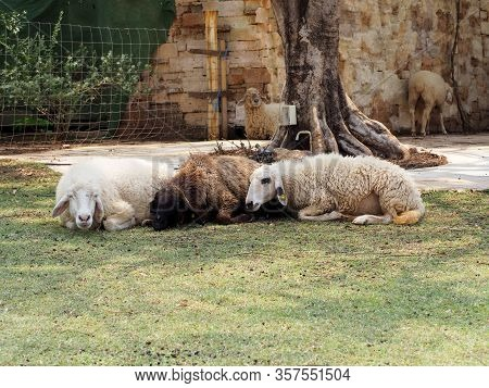 Sheeps Are Sleeping On Grass In Farm.