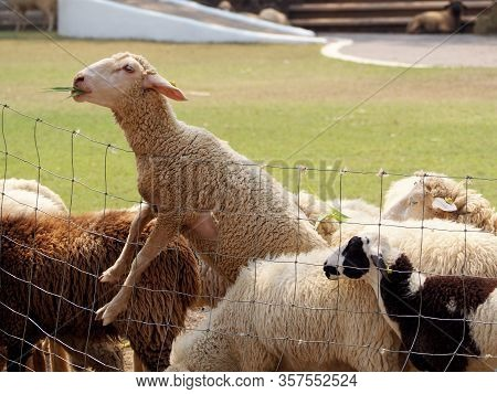 Sheep Eating Grass Leaves On Steel Mesh Fence Of Rural Ranch Farm