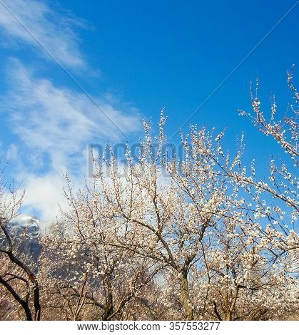 Flowers On An Apricot Tree On A Background Of A Snowy Mountain. Spring Flowering Apricot Tree In The