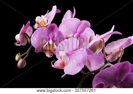 Branch Of Pink Phalaenopsis Or Moth Orchid From Isolated On Black Background