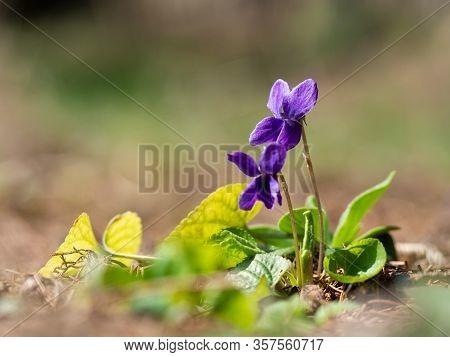 Purple Flowers Of Wood Violet (viola Odorata) Bloomoing In The Spring